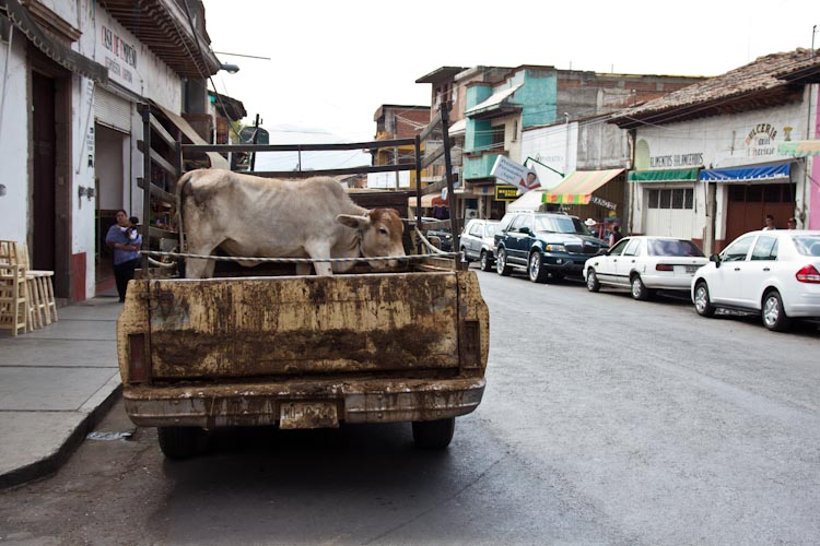 Simple Cow Transport in Mexico2