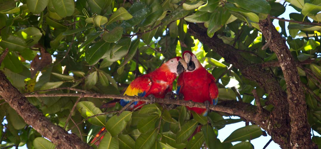 The loud and nice birds of Copan Ruinas