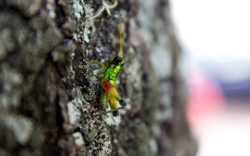 Colombia: Central Highlands - Barrichara: Grasshopper
