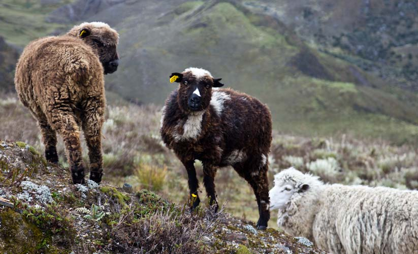 Colombia: Central Highlands -  NP Cocuy: lots of sheeps