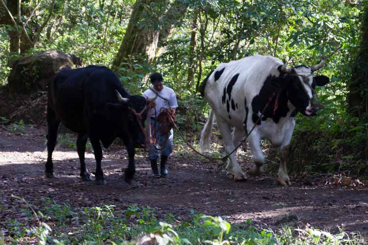 Panama: central mountains - Volcano Baru: huge bulls