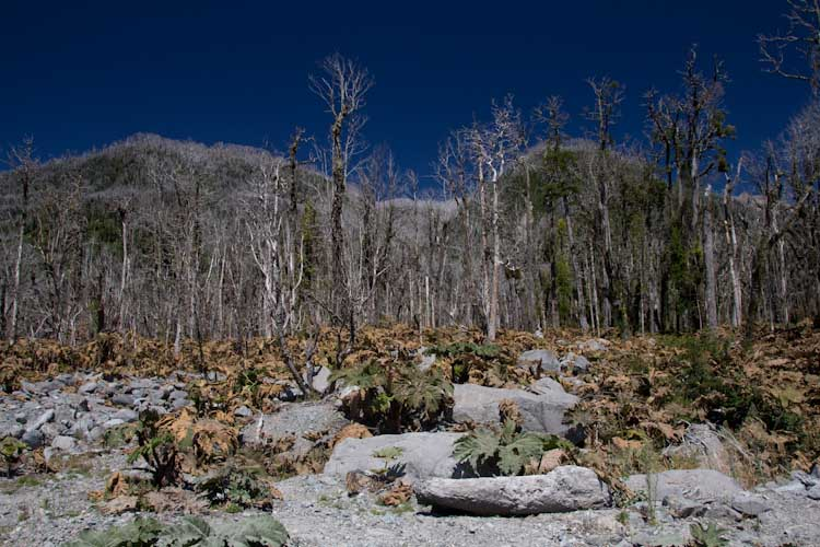 Chile: Carretera Austral - NP Pumalin: death trees