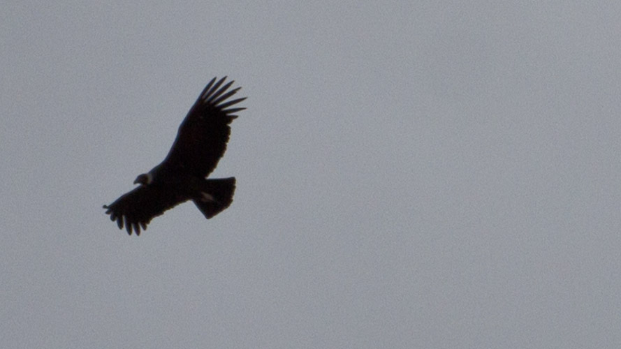 Chile: Conservation Patagonia - Condor