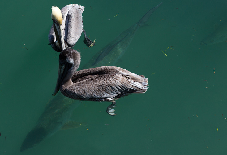Florida Keys - Pelicans