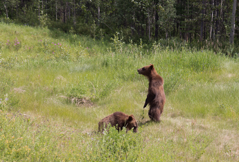 Grizzly Baby´s